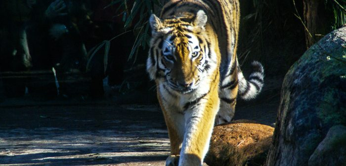 Zoos in Holland Tiger