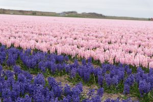 Spring: Blooming Tulip Fields in Holland