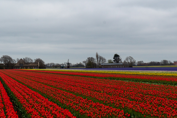Must See the Blooming Tulip Fields in Holland.