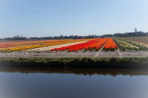 Blooming Tulip Fields in Holland. Visit Dutch Bulb Fields.
