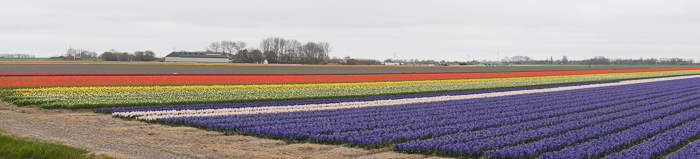 Things to do in Den Helder, Holland. Blooming Tulip fields near the village Zijpe.