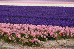 Things to do in Den Helder, Holland. Dutch flower bulbs.