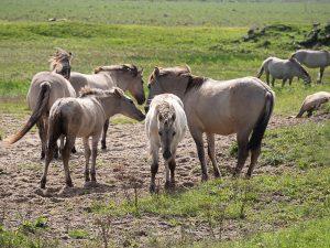 Nature Reserve Oostvaardersplassen Horses