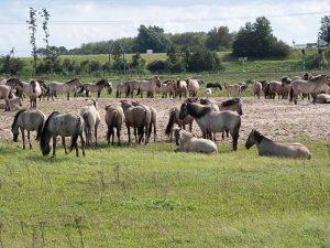 Nature Reserve Oostvaardersplassen herd of horses